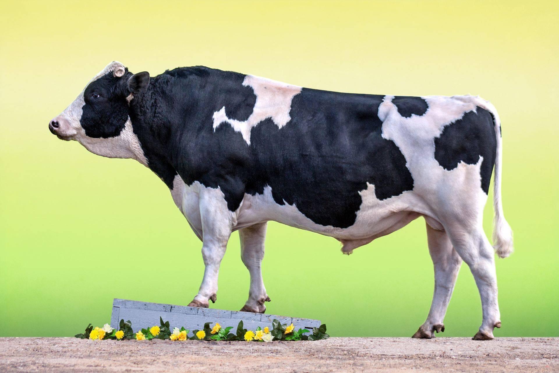 Как узнать вес крс без весов: быка, коровы, теленка