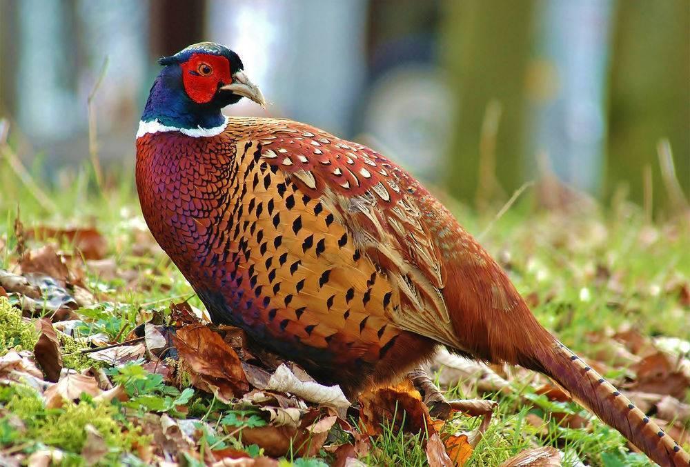 Домашние фазаны: выращивание, разведение и содержание птиц в домашних условиях