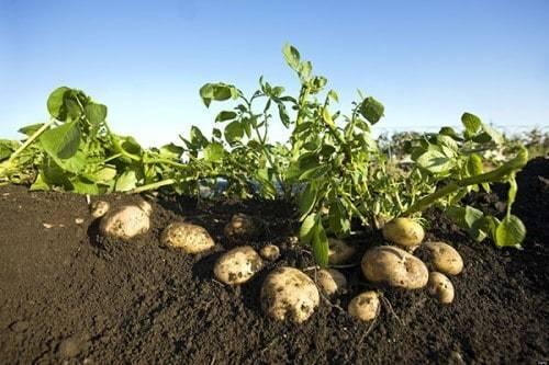 Применение удобрения кемира. фертика — удобрение картофельное и действенное ому или кемира что лучше для картошки