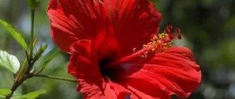 Каркаде (суданская роза): полезные свойства и противопоказания