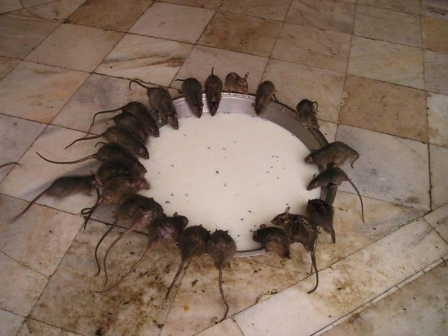 Непрошенные гости в курятнике: избавляемся от хищников