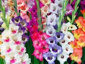 О цветении гладиолусов после посадки (когда и сколько времени цветут, срезка)