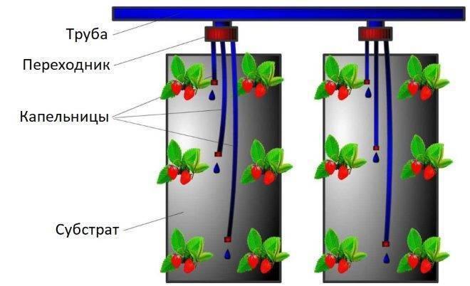 Выращивание клубники по голландской технологии. раскрываем секреты