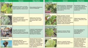 Чем обработать виноград весной от болезней и вредителей, как и когда опрыскивать