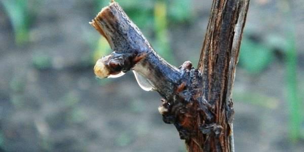 Как обновить запущенный виноград, обрезать, омолодить старый виноград