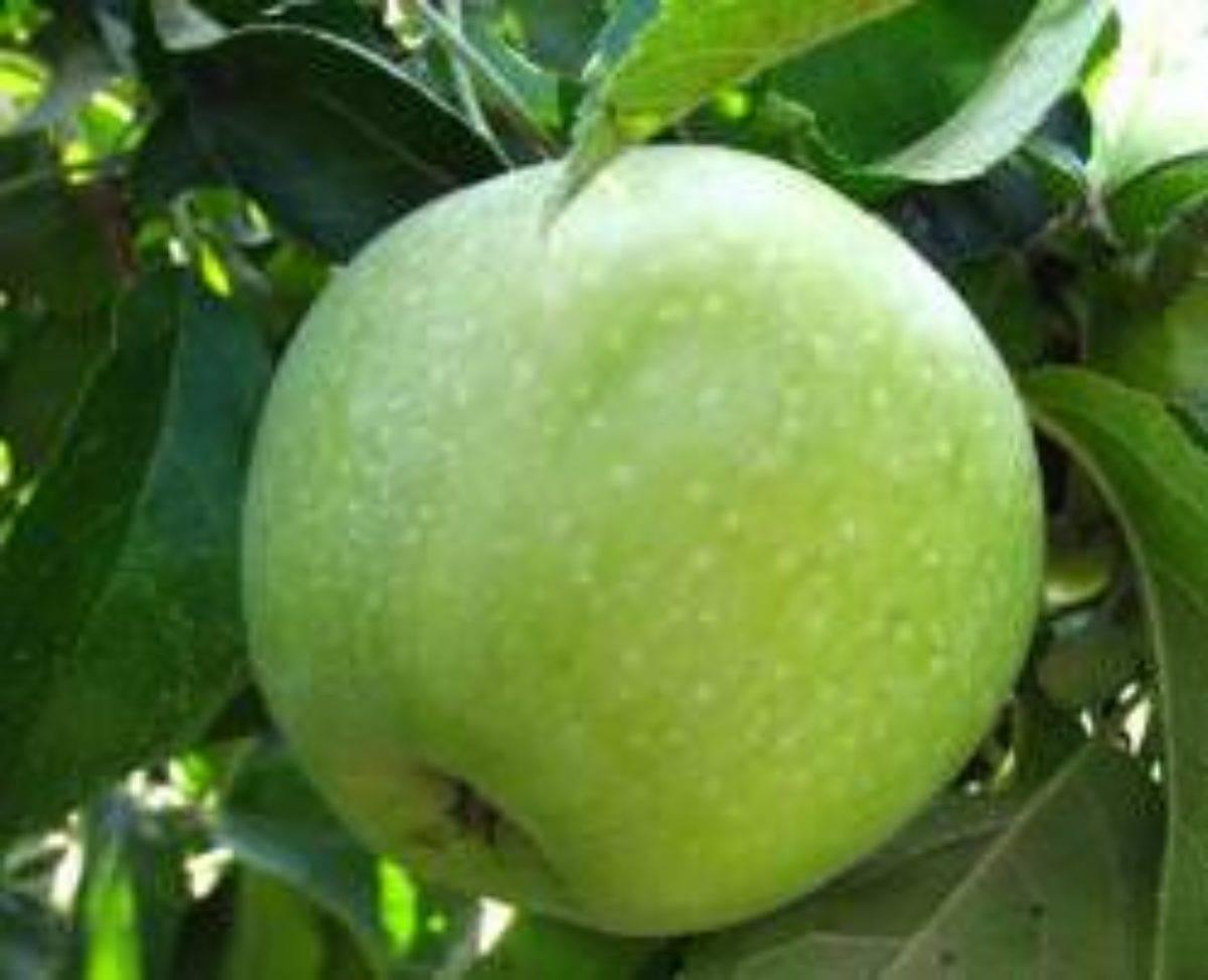 Яблоки семеренко: описание сорта с фото