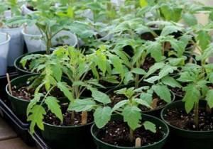 Стимуляторы роста для рассады томатов и перца: как вырастить хорошую рассаду в домашних условиях