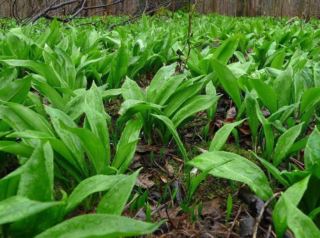 Черемша : выращивание из семян, посадка в домашних условиях и на грядке, особенности размножения и ухода