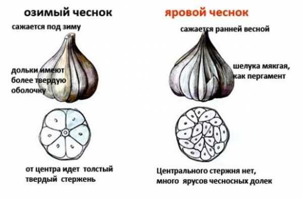 Посадка чеснока весной в открытый грунт: сроки