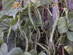 Посадка фасоли в открытый грунт семенами - сроки и правила посадки