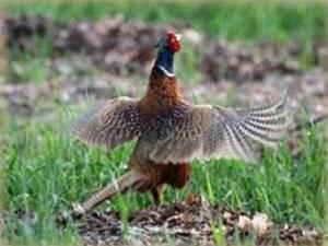 Как поймать живого фазана?