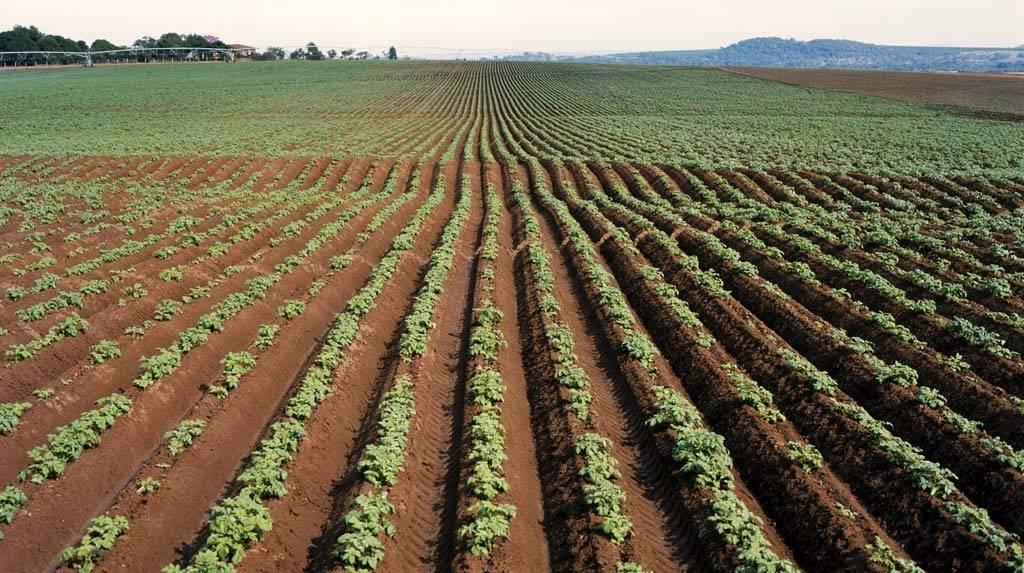 3 популярных гербицида от сорняков для картофеля: обработка после всходов
