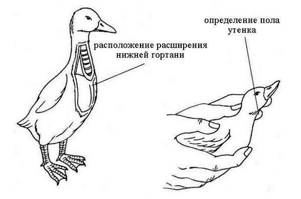 Чем отличается утка от селезня