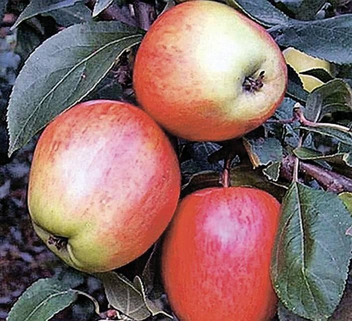 Зимние сорта яблонь для средней полосы и других регионов