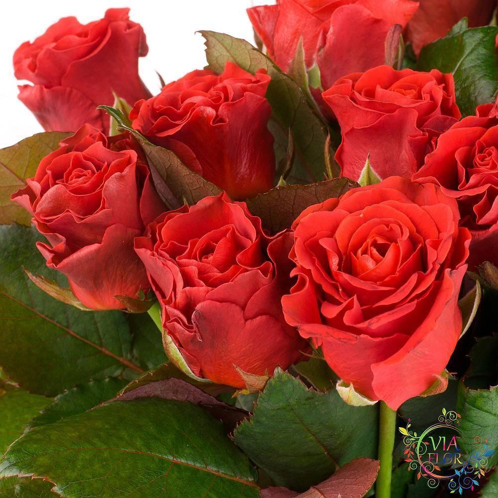 Украшаем сад розами: тонкости выращивания элегантного сорта эль торо