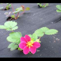Выращивание и уход за клубникой сорта капри
