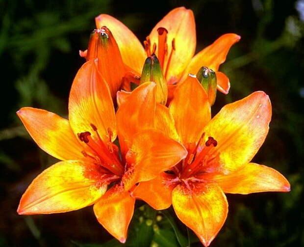 Что делать, если лилии мельчают и плохо растут в высоту, становятся низкорослыми