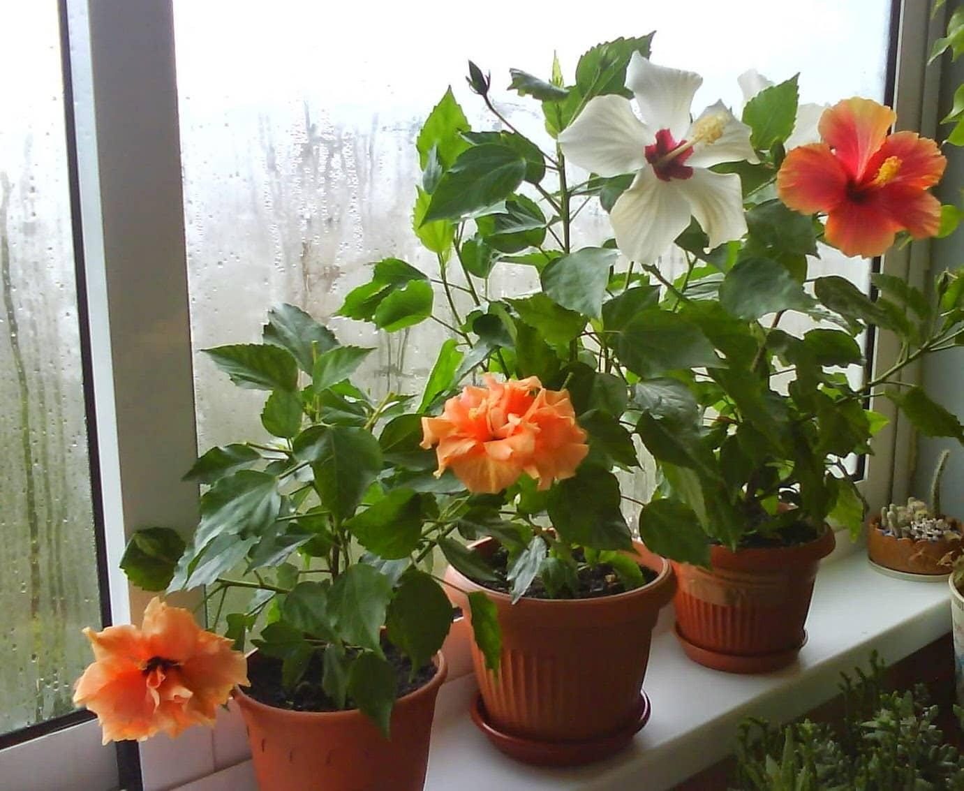 Почему не цветет гибискус в домашних условиях: каковы причины, что комнатное растение дает только листву, что делать, чтобы были бутоны, как заставить распуститься?