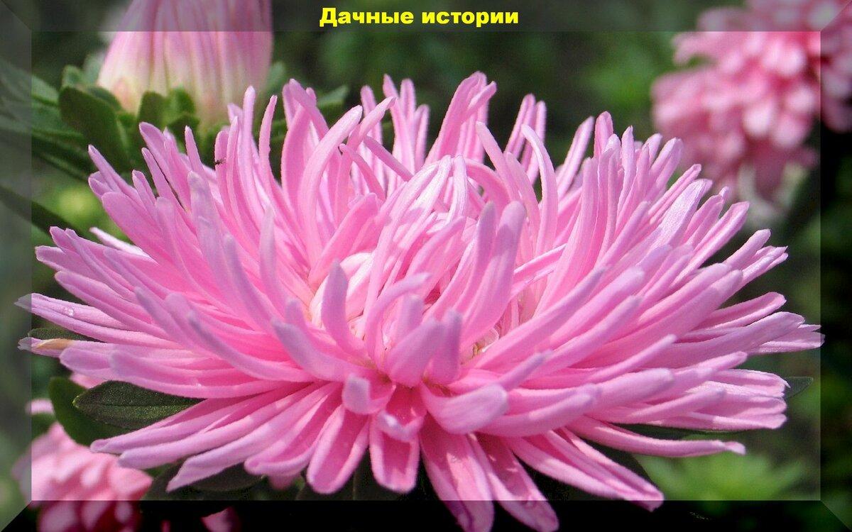 Астры: описание и уход за цветами