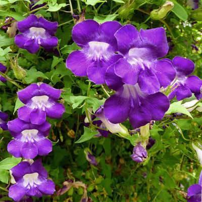Вьюн цветок — декоративный вьюнок для выращивания в саду