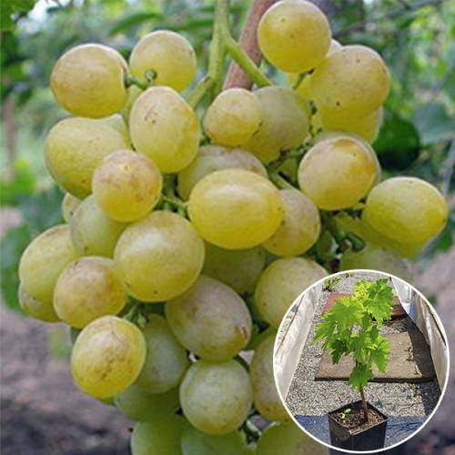 Все про виноград сорта восторг — описание и отзывы