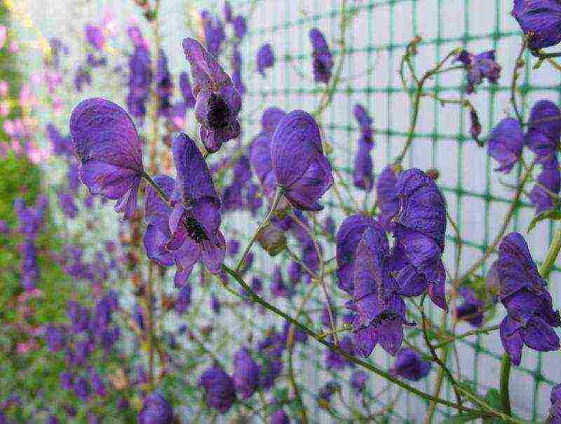 Аконит посадка и уход в открытом грунте: размножение растения
