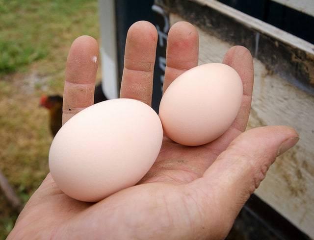 Время собирать яйца, или когда начинают нестись куры