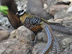 Птица фазан: фото и отличительные особенности