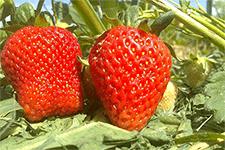 Особенности выращивания клубники «сан-андреас» на приусадебном участке