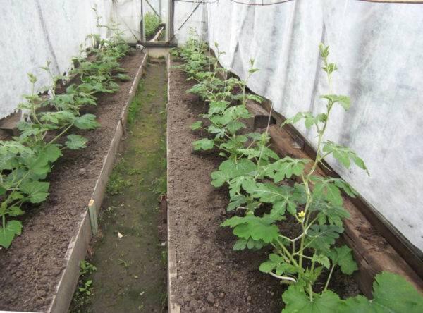 Выращивание арбузов на урале в открытом грунте