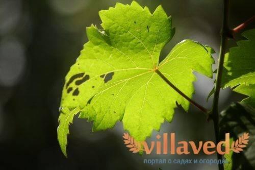 У винограда сохнут листья по краям и скручиваются