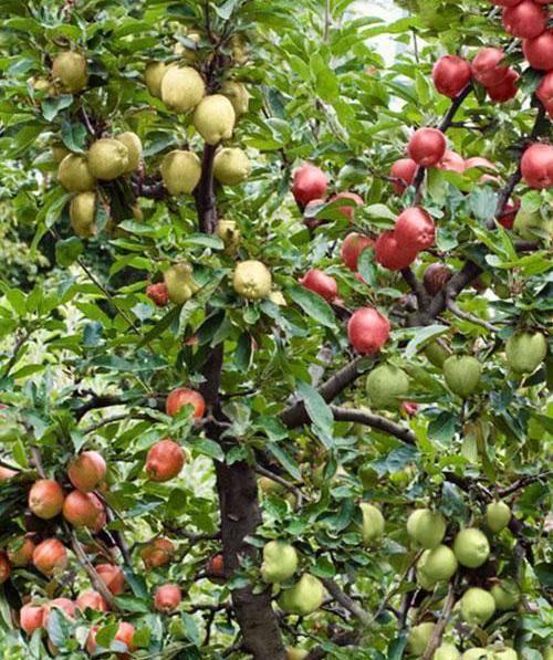 Листья и цветы яблони: полезные свойства и противопоказания
