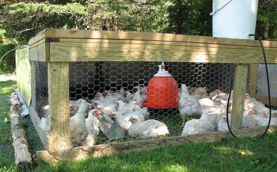 Выращивание, уход и кормление цыплят бройлеров
