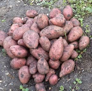 Картофель беллароза описание сорта