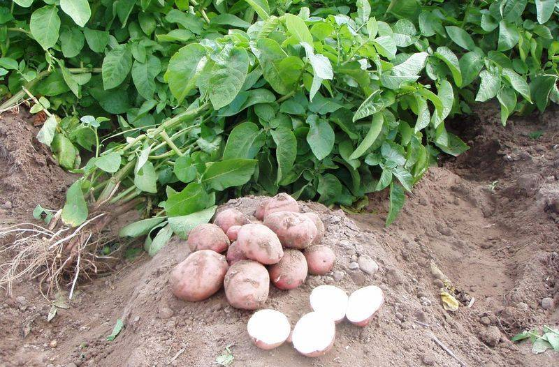 Что можно сажать после картофеля на следующий год, рекомендации и советы
