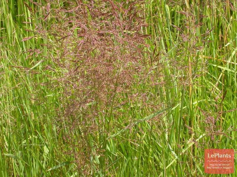 Как вырастить газон из полевицы побегоносной: советы экспертов