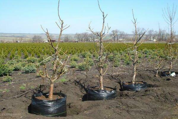 Пересадка вишни на новое место осенью