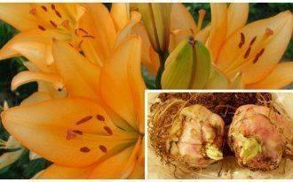 Каким болезням и вредителям подвержены комнатные лилии и как с ними бороться?