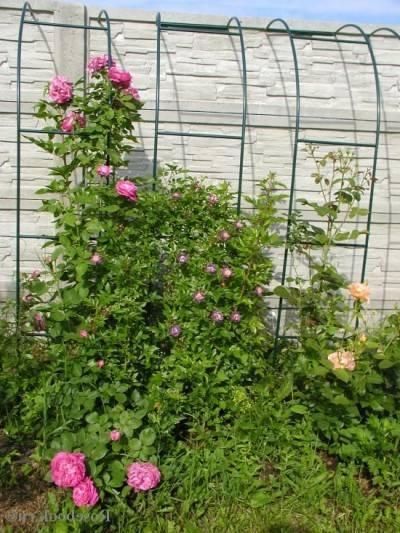 О размножении плетистой розы летом черенками, отводками, из семян