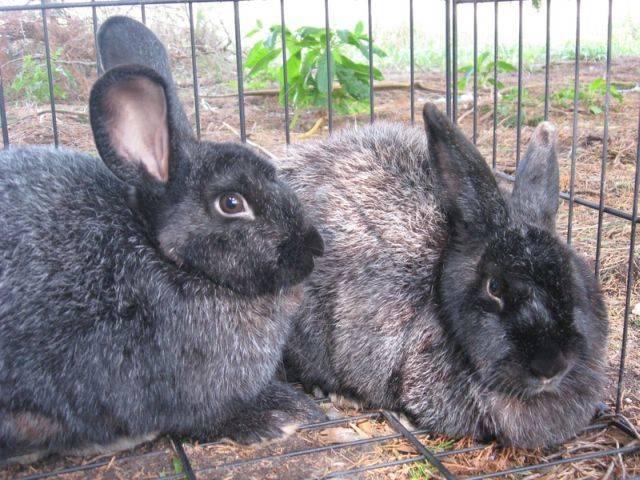 Советский кролик шиншилла: описание и разведение породы