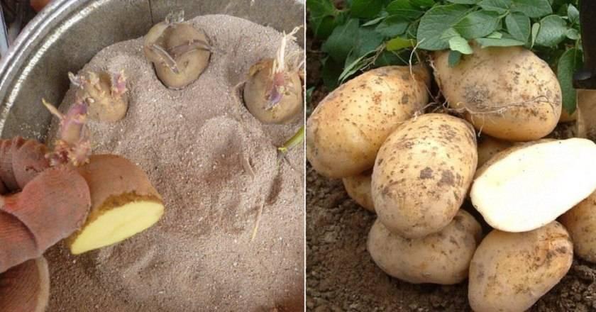 Сорт картофеля «сифра»: характеристика, описание, урожайность, отзывы и фото