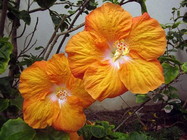 Как размножить гибискус китайскую розу черенками дома