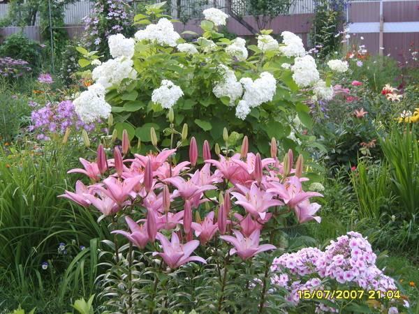 Пересадка лилий после цветения, когда выкапывать и сажать: осенью или весной