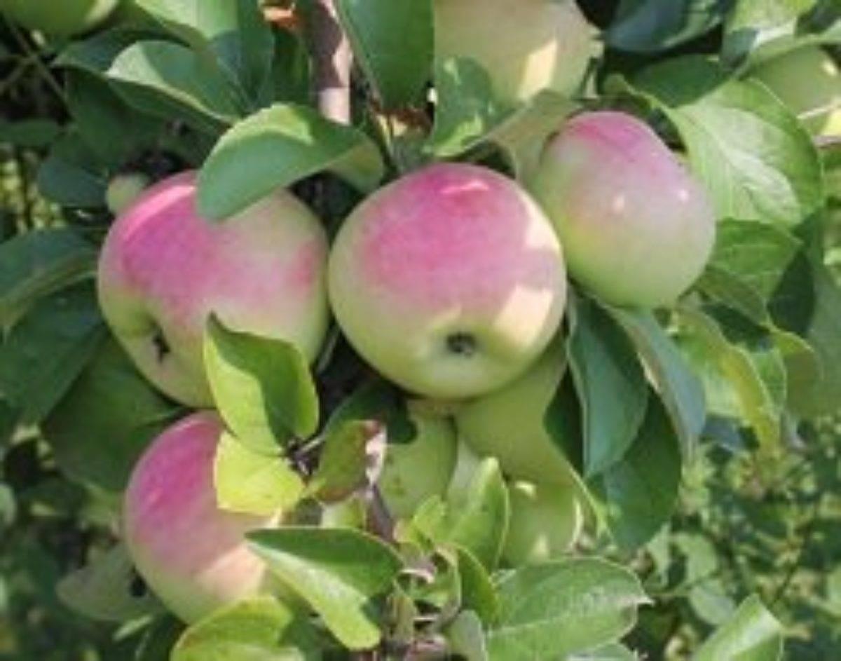 Яблоня имрус: описание сорта и фото, особенности и характеристики