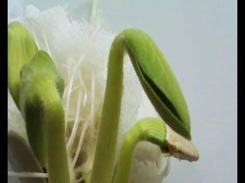 Как прорастить семена дыни