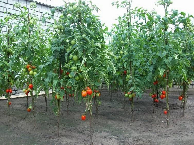 Сколько нижних листьев удалять на кустах помидоров?