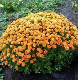 Хризантема: посадка и уход в открытом грунте, посадка хризантем осенью, правила выращивания