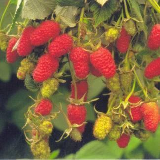 Малина: описание 22 лучших сортов, характеристики и отзывы садоводов   (фото & видео)