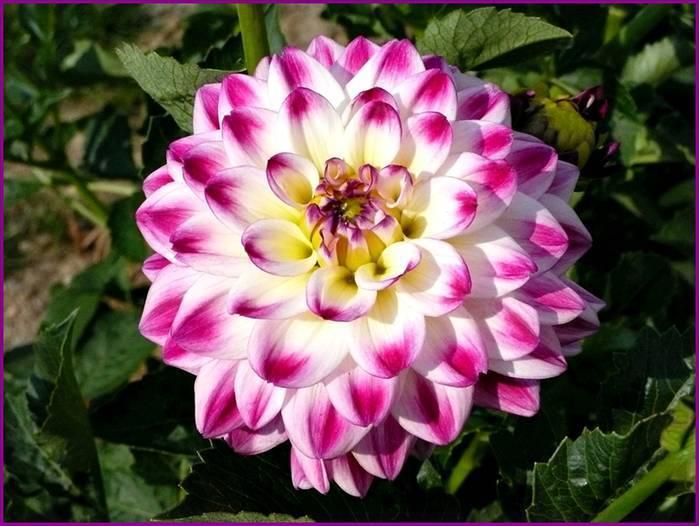 Домашнему цветоводу: как пасынковать георгины