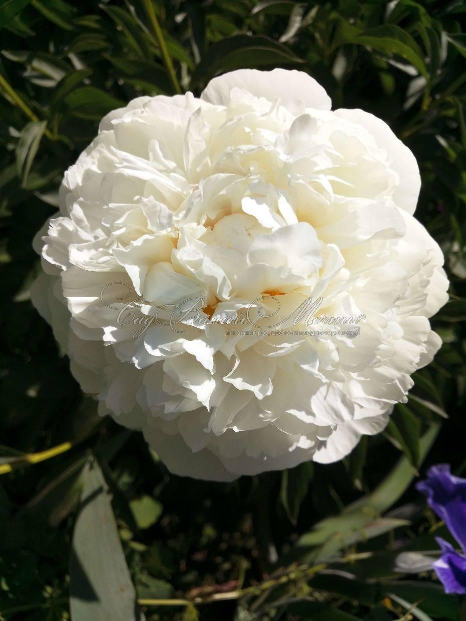 Травянистые пионы: выращивание, посадка и уход | сажаем сад